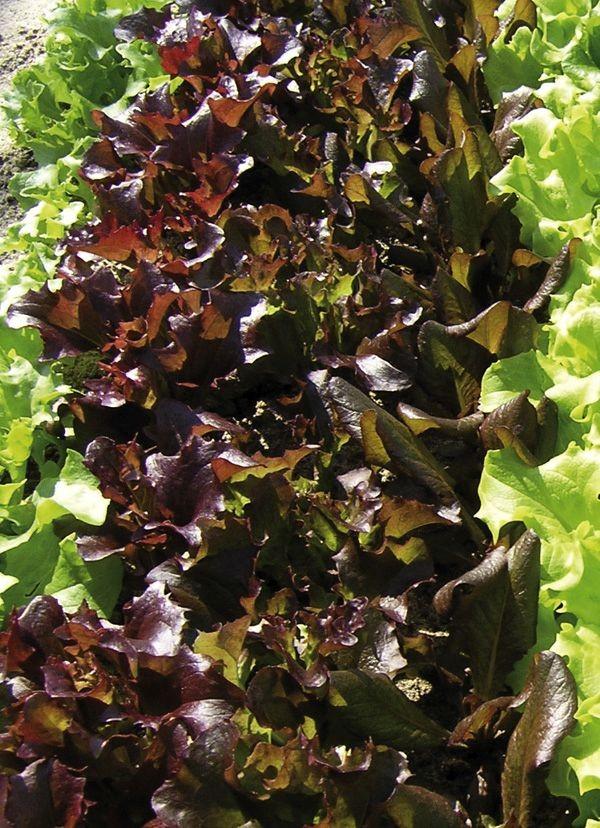 Pflücksalatsamen Amerikanischer Brauner ungebeizt, 2,5g