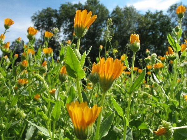 Ringelblumesamen - Calendula officinalis